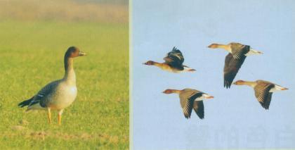 短嘴豆雁 Tundra Bean Goose