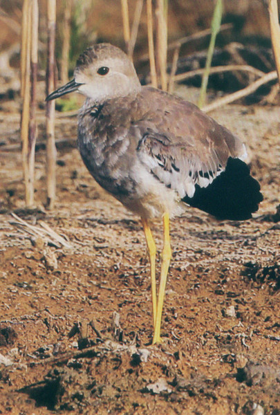 白尾麦鸡  White-tailed Lapwing