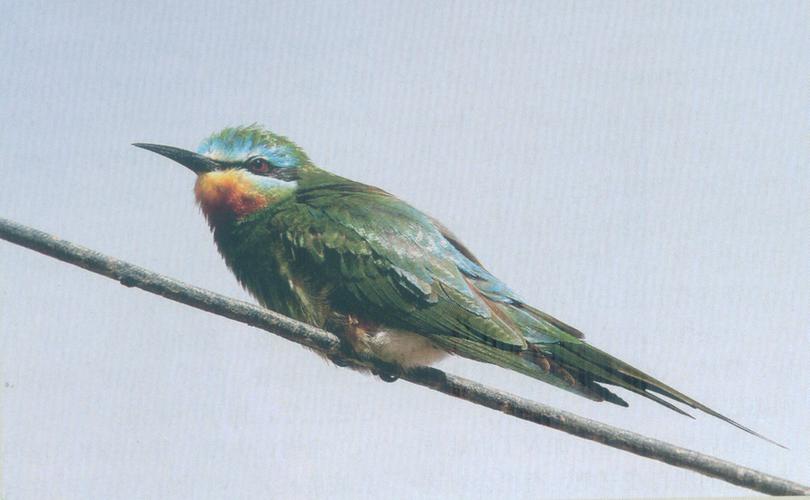 蓝颊蜂虎 Blue-cheeked Bee-eater