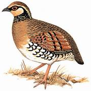 褐胸山鹧鸪 Brown-breasted Hill Partridge