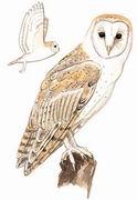 仓鸮 Barn Owl
