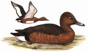 白眼潜鸭 White-eyed Pochard