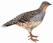 四川雉鹑 Sichuan Pheasant Partridge