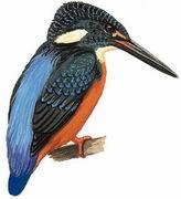 斑头大翠鸟 Blyth's Kingfisher