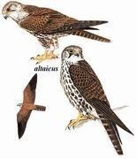 猎隼 Saker Falcon