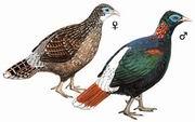 白尾梢虹雉 Sclater's Monal Pheasant