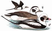 长尾鸭 Long-tailed Duck