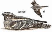 欧夜鹰 Eurasian Nightjar