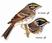 黄眉鹀 Yellow-browed Bunting