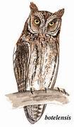 琉球角鸮 Elegant Scops Owl