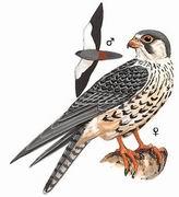 阿穆尔隼 Amur Falcon