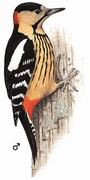 黄颈啄木鸟 Darjeeling Woodpecker
