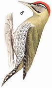 鳞腹绿啄木鸟 Scaly-bellied Woodpecker