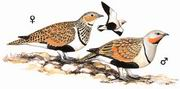 黑腹沙鸡 Black-bellied Sandgrouse