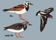 翻石鹬 Ruddy Turnstone