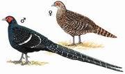 黑长尾雉 Taiwan Long-tailed Pheasant