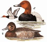 红头潜鸭 Common Pochard