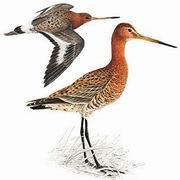 黑尾塍鹬 Black-tailed Godwit