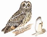 短耳鸮 Short-eared Owl