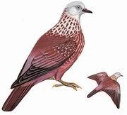 点斑林鸽 Speckled Wood Pigeon