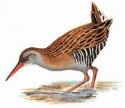 普通秧鸡 Brown-cheeked Rail