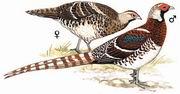 白颈长尾雉 White-necked Long-tailed Pheasant