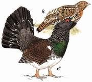 西方松鸡 Western Capercaillie