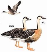 鸿雁 Swan Goose
