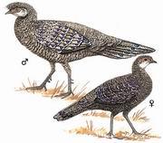 灰孔雀雉 Hainan grey peacock-pheasant