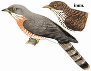 普通鹰鹃 Common Hawk Cuckoo
