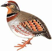 白眉山鹧鸪 White-necklaced Partridge