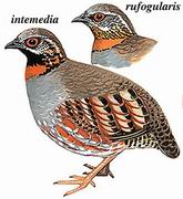 红喉山鹧鸪 Rufous-throated Partridge