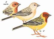 褐头鹀 Red-headed Bunting