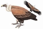 兀鹫 Eurasian Griffon