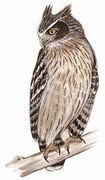 毛腿渔鸮 Blakiston's Fish Owl