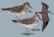 尖尾滨鹬 Sharp-tailed Sandpiper