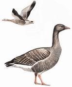 灰雁 Greylag Goose