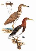 池鹭 Chinese Pond-Heron