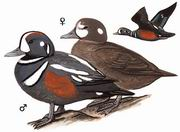 丑鸭 Harlequin Duck