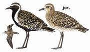 金斑鸻 Pacific Golden Plover