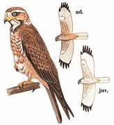 白眼鵟鹰 White-eyed Buzzard