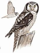 猛鸮 Northern Hawk Owl