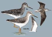 小青脚鹬 Spotted Greenshank