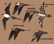 长尾贼鸥 Long-tailed Jaeger