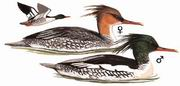 中华秋沙鸭 Scaly-sided Merganser