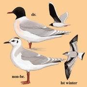 小鸥 Little Gull