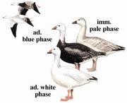 雪雁 Snow Goose