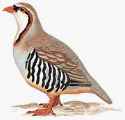 大石鸡 Rusty-necklaced Partridge