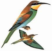 黄喉蜂虎 European Bee-eater