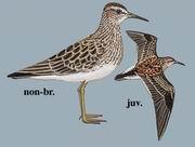 斑胸滨鹬 Pectoral Sandpiper